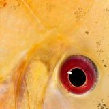 Close-up op een vissenoog royalty-vrije stock foto