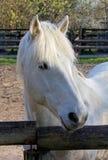 Close-up op een Wit Paard in Corral royalty-vrije stock afbeeldingen