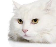 Close-up op een witte angora kat (5 jaar) stock foto