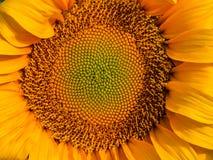 Close-up op een Zonnebloem stock foto