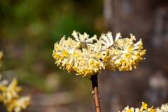 Close-up op gele bloemen van Edgeworthia-chrysantha, Oosterse paperbush stock fotografie