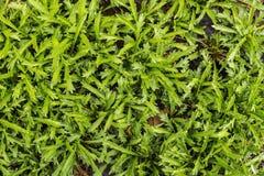 Close-up op groen gras is ontsproten dat Groene grastextuur als achtergrond Stock Foto's