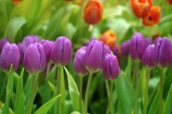 Close-up op het gebied van tulpen Royalty-vrije Stock Foto