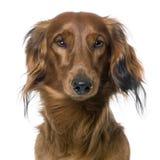 Close-up op het hoofd van een hond, Tekkel, vooraanzicht Royalty-vrije Stock Foto