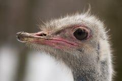 Close-up op het hoofd van een struisvogel vooraan Royalty-vrije Stock Fotografie