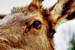 Close-up op het oog van een hert royalty-vrije stock fotografie