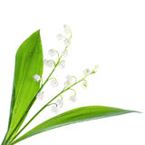 Close-up op lelietje-van-dalenbloemen op wit Royalty-vrije Stock Foto