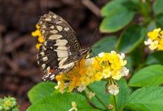 Close-up op tropische butterlfy stock foto