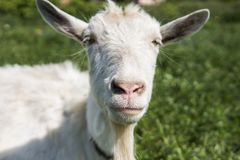 Close-up op witte grappige geit op een ketting met een lange baard die op groen weilandgebied weiden in een zonnige dag farming stock afbeeldingen