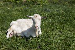 Close-up op witte grappige geit op een ketting met een lange baard die op groen weilandgebied weiden in een zonnige dag farming royalty-vrije stock foto
