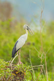 The close up of Open-billed stork Stock Photo