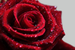 Close-up of open rose. Stock Photos