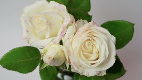 Close up of opening bouquet of white roses, blooming white rose, beautiful nature background, isolated on white. Monochrome video stock video