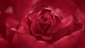 Close up of opening dark red rose, blooming dark red roses