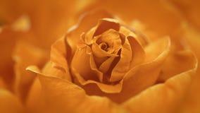 Close up of opening orange rose, blooming orange roses