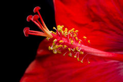 Close-up of an opening red flower showing petals, stamens and pistil Stock Photo