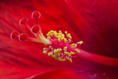 Close-up of an opening red flower showing petals, stamens and pistil Royalty Free Stock Image