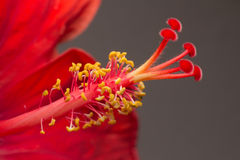 Close-up of an opening red flower showing petals, stamens and pistil Royalty Free Stock Images