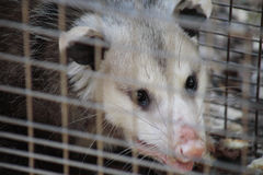 Close up of opossum Royalty Free Stock Photography