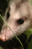 Close up of opossum face. Close up of a young opossum face Royalty Free Stock Photo