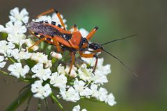 Close-up of orange assassin bug on white flower. Close-up of orange assassin bug (Rhinocoris iracundus) waiting for its prey on white flower. This large bug Stock Image