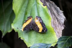 Close up of butterfly on a leaf. Close up of orange and black butterfly on a leaf stock image