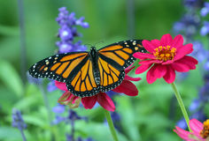 Monarch Butterfly Danaus plexippus on pink flower. Close up of an orange black and white Monarch Butterfly with open wings feeding on pollen from a bright pink Stock Images