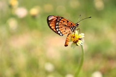 Close up of orange butterfly. Close up of little orange butterfly on weed flower with blur natural background stock photo