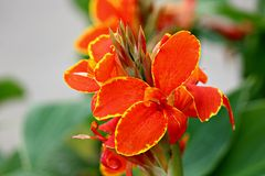 A Close up of an orange Canna Conova lilly flower. stock photography