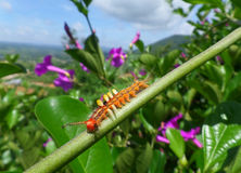Close-up of orange Caterpillar climbing on the Green Branch under blue sky Royalty Free Stock Photography