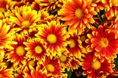 Close up orange chrysanthemum flower Royalty Free Stock Image