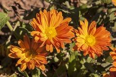 Close up of Orange Chrysanthemum Flowers on Shrub Royalty Free Stock Photos
