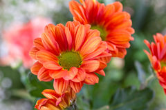 Close-up orange chrysanthemum. Macro shot Stock Images