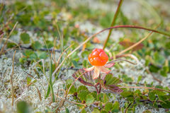 Close up of orange cloudberry. A single cloudberry in the wild nature Royalty Free Stock Photography