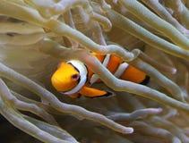 Orange clownfish, Amphiprion percula stock photos