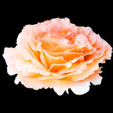 Close up Orange coral white tender rose flower bud isolated with. Orange white tender rose flower bud isolated with water drops on black background Stock Photo