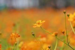 Close up orange cosmos flower Stock Images