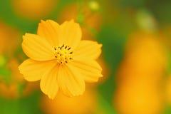 Close up of orange cosmos flower Stock Photo