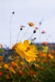 Close up orange cosmos flower Stock Photography