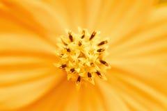 Close up of orange cosmos flower Royalty Free Stock Photos