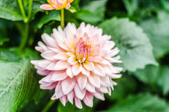 Close up Orange Dahlia hybrid flower with blurred background Stock Image