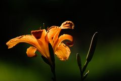 Close Up of an Orange Daylily in the Sun Royalty Free Stock Images