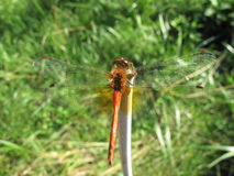 Close-up orange dragonfly. On green grass background stock photos