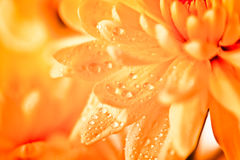Close up of orange flower aster Royalty Free Stock Photos