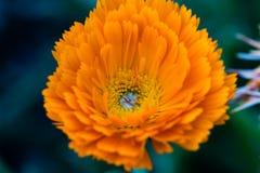 Close up of an orange flower. Close up of an orange Calendula flower stock photos