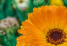 Close-up of an orange flower. Royalty Free Stock Image