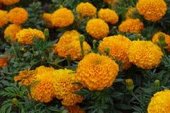 Closeup of orange flower of Mexican marigold. Close up of orange flower of Mexican marigold Stock Photo