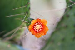 Flowering Succulent Cactus with Needles, Close Up. Close up of orange flower and prickly needles on thick leafy succulent cactus plant stock photos