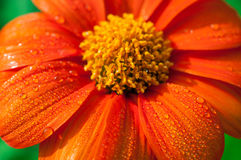 Close-up of orange flowers in the garden / Macro drops of water on orange flower in forest Royalty Free Stock Image
