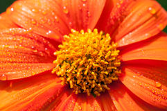 Close-up of orange flowers in the garden / Macro drops of water on orange flower in forest Royalty Free Stock Photo